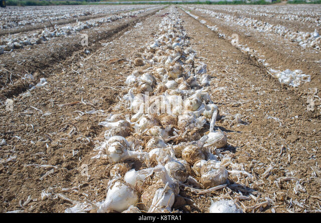 Field with unearthed onions lines, Badajoz, Spain. Dehydrated food industry - Stock Image