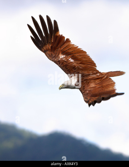 Eagle Brahminy Kite Langkawi Malaysia animal body bird wings span spread beak eye feathers high up in sky flying - Stock Image