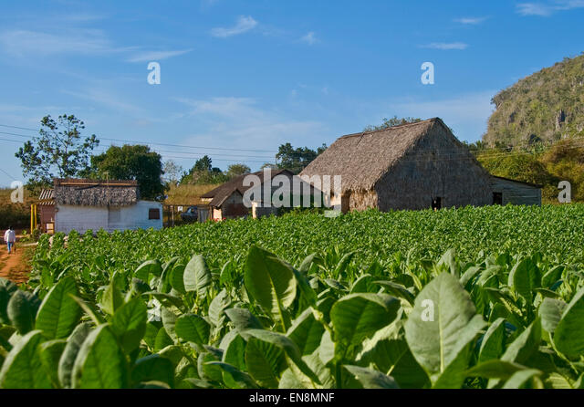 Horizontal view of a tobacco plantation in Vinales. - Stock Image