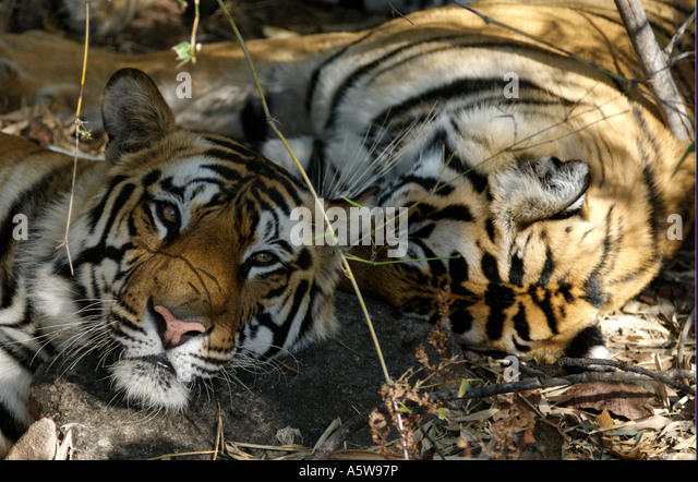 Two almost independent male cubs sleeping together in the heat of the day about 18 months old - Stock Image