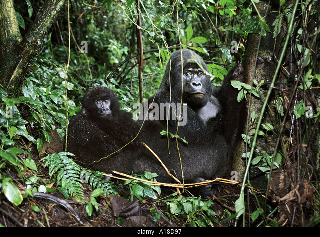 Mountain gorillas in the crater of an extinct volcano Parc des Virungas Democratic Republic of Congo - Stock-Bilder