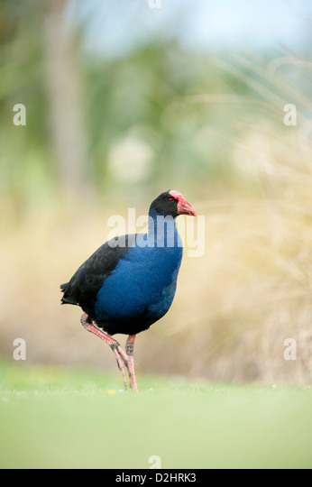 Pukeko (Porphyrio porphyrio melanotus), New Zealand purple swamphen, Christchurch, New Zealand - Stock Image
