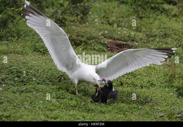 European Herring Gull (Larus argentatus) adult, summer plumage, attacking Atlantic Puffin (Fratercula artica) for - Stock-Bilder
