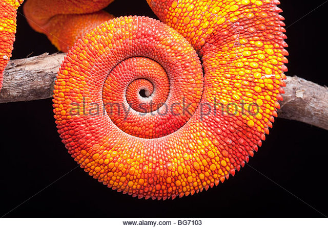 Coiled tail of a Panther Chameleon, Furcifer pardalis, Ambilobe, Madagascar - Stock-Bilder
