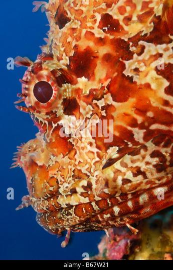 Great Rockfish Scorpaena scrofa Vis Island Mediterranean Sea Croatia - Stock-Bilder