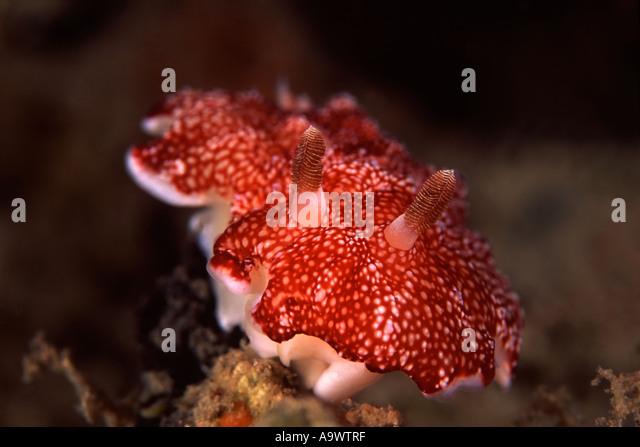 Chromodoris reticulata - Stock Image