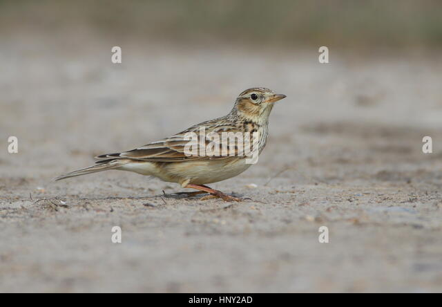Several Skylarks present with the Buntings. - Stock Image