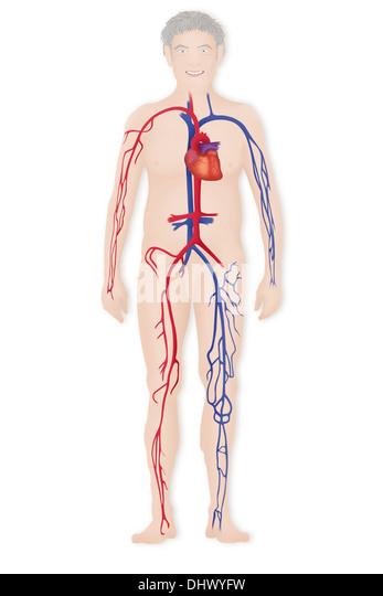 BLOOD CIRCULATION, ILLUSTRATION - Stock Image