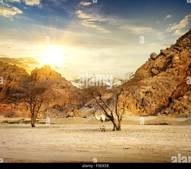 Camel in mountains of sand desert at sunset - Stock Image