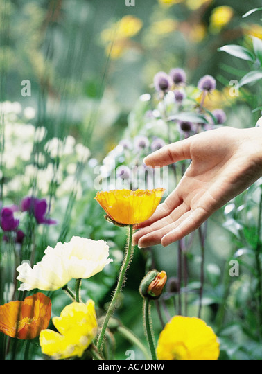 Someone handling a yellow flower - Stock Image