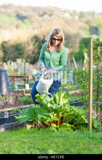 A woman uses a watering can to water a rhubarb plant in a city allotment - Stock Image