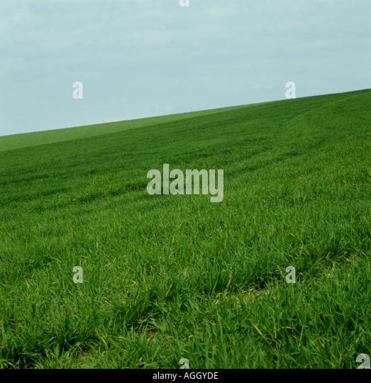 Grass crop Wiltshire. - Stock Image