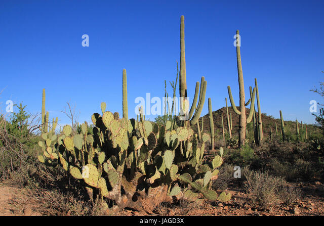 Cactus Landscape of Saguaro National Park, Tuscon. Arizona, United States - Stock Image