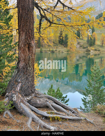 Larch Tree in Autumn at Lai da Palquogna, Albula Pass, Grisons, Switzerland - Stock Image