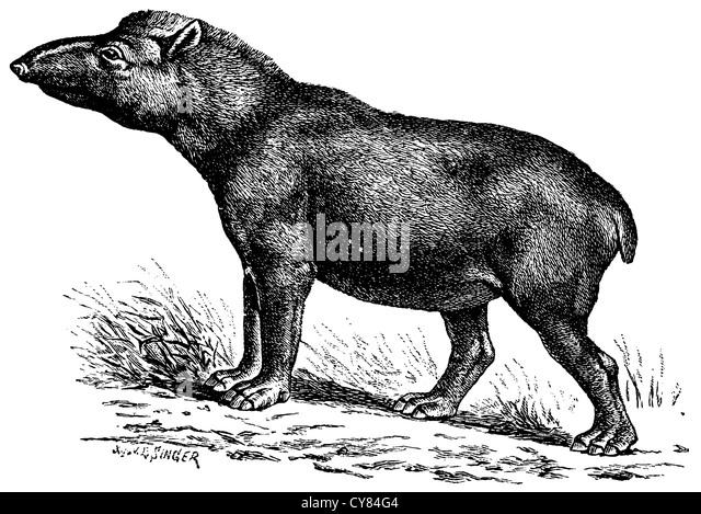 American tapir - Stock-Bilder