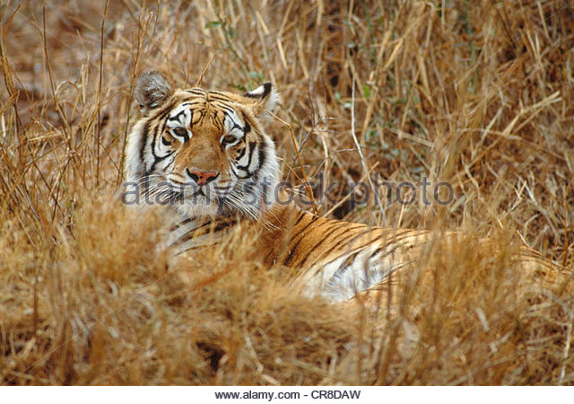 Bengal tiger resting on tall dry grass, India - Stock Image