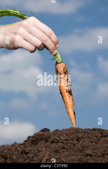 Hand holding carrot - Stock Image