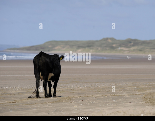 A lone cow wandering along the beach on the sand. - Stock Image