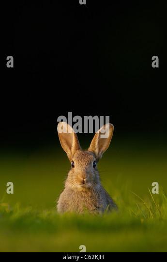 RABBIT Oryctolagus cuniculus  Portrait of an alert young rabbit sitting in evening light Norfolk, UK - Stock-Bilder
