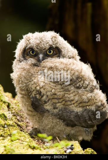 Great Horned Owl - Camano Island State Park, Washington USA - Stock Image