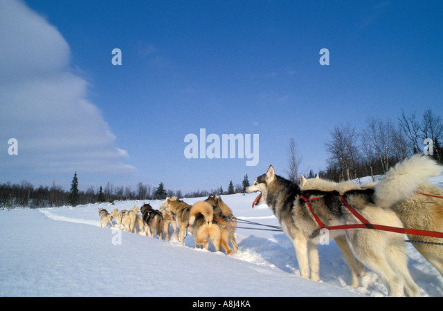 Alaska husky team in harness - Stock Image