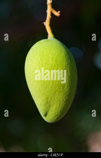 Mangifera indica. Ripening Mango on a tree in the Indian countryside - Stock-Bilder