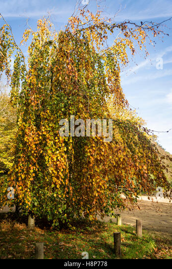 Weeping lime tree, Box Hill, Surrey, England, UK - Stock Image