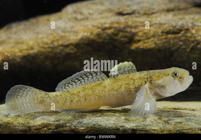 Goby fish rock stock photos goby fish rock stock images for Freshwater goby fish