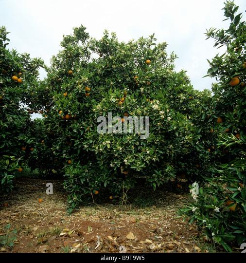 Citrus blossom stock photos citrus blossom stock images alamy - Planting fruit trees in the fall a garden full of vigor ...