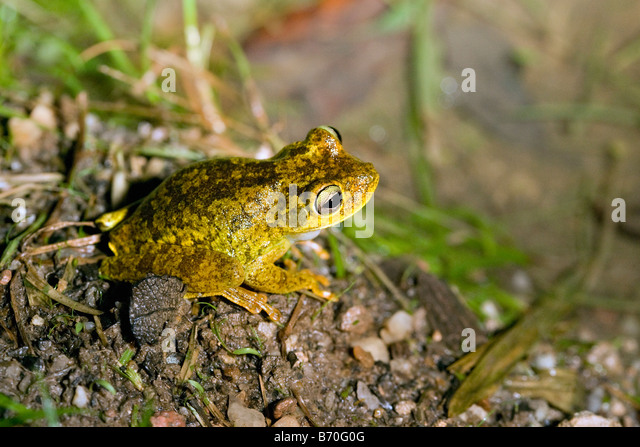 Suriname, Brownsweg, Brownsberg National Park. Frog. Family: Eleutherodactylus. Just discovered species. - Stock-Bilder