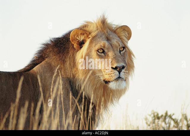 Young male Lion Kalahari Gemsbok National Park South Africa - Stock Image