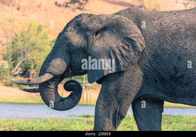 Botswana. Chobe National Park. Elephant (Loxodonta africana) grazing on an island in the Chobe River. - Stock-Bilder