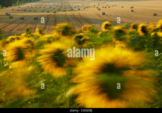 a field of sunflowers blowing in the wind near Castelnaudary, Aude, Languedoc-Roussillon, France - Stock Image