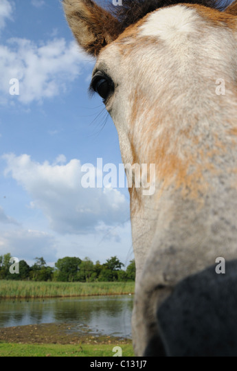 Wide angle picture of a New Forest pony - Stock Image