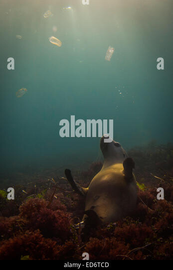 Australian Sea-lion - 2 - Stock-Bilder