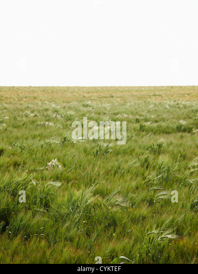 Field of barley blowing in wind - Stock Image