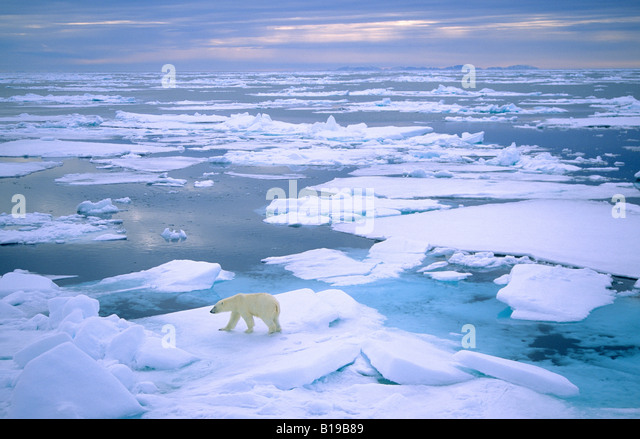 Adult polar bear (Ursus maritimus) hunting on pack ice. Svalbard, Norway. - Stock-Bilder