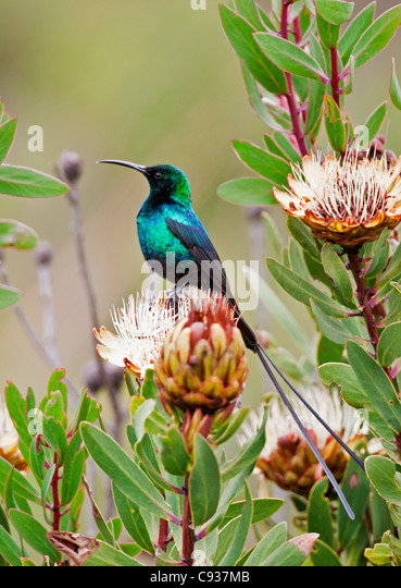 A Malachite Sunbird on a protea flower at 9,750 feet on the moorlands of Mount Kenya. - Stock Image