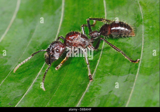 Enormous Bullet Ant (Paraponera clavata) in Costa Rica rainforest - Stock-Bilder