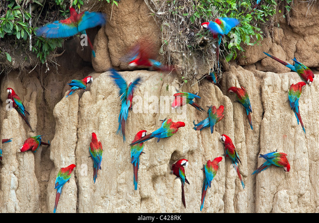 Manu National Park, Red and Green Macaws ( Ara chloroptera ) ingesting clay from Tambo Blanquillo clay lick. - Stock Image