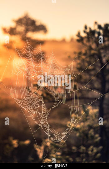 Close-up from spider web at summer night in Torronsuo National Park, Finland - Stock Image