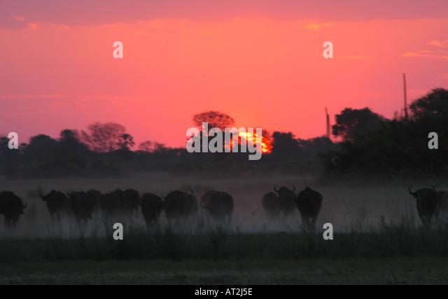 Buffalo stampede in dust at sunset at Tubu tree safari camp in Okavango Delta Botswana southern Africa - Stock Image