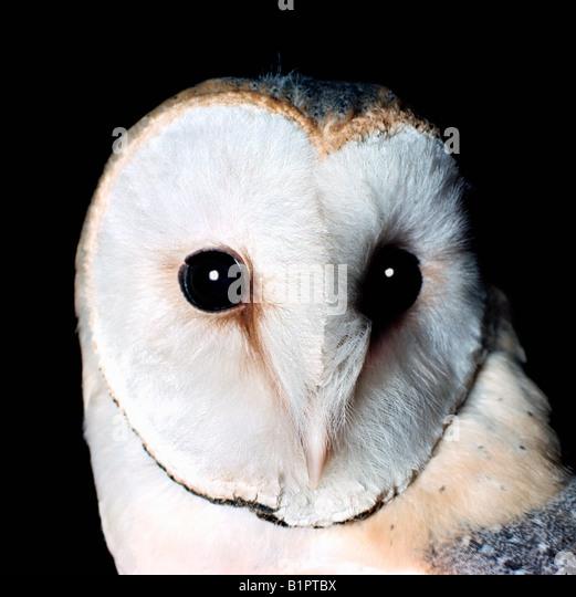 chouette effraie portrait Schleiereule Barn Owl Tyto alba portrait Africa Afrika animals Asia Asien Augen Australia - Stock-Bilder