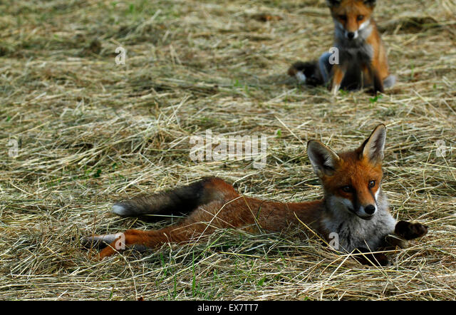 Wild foxes laid out in the sunshine Our largest predator in the British Isles, the beautiful red fox, wildlife at - Stock-Bilder