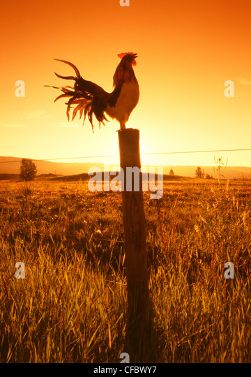 Rooster crowing on fence post at dawn near Cochrane, Alberta, Canada - Stock Image