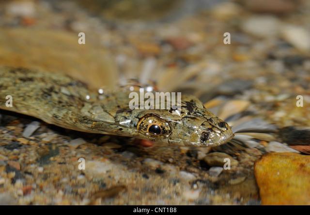 dice snake (Natrix tessellata), in water, portrait, Greece, Creta, Kournas See - Stock Image