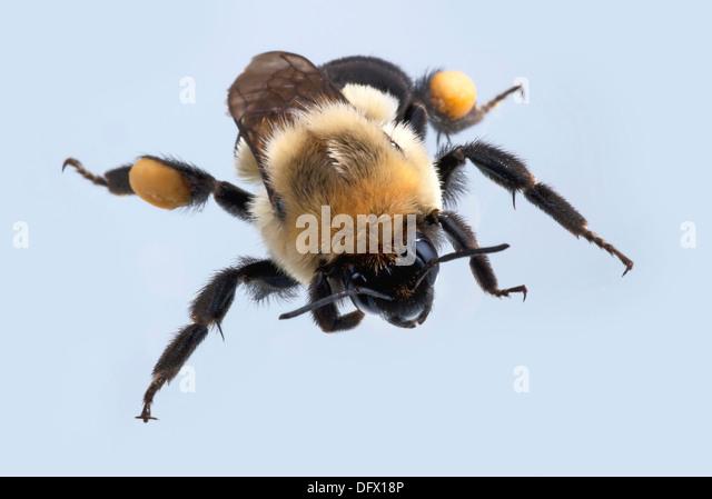 Humble-bee - Stock Image
