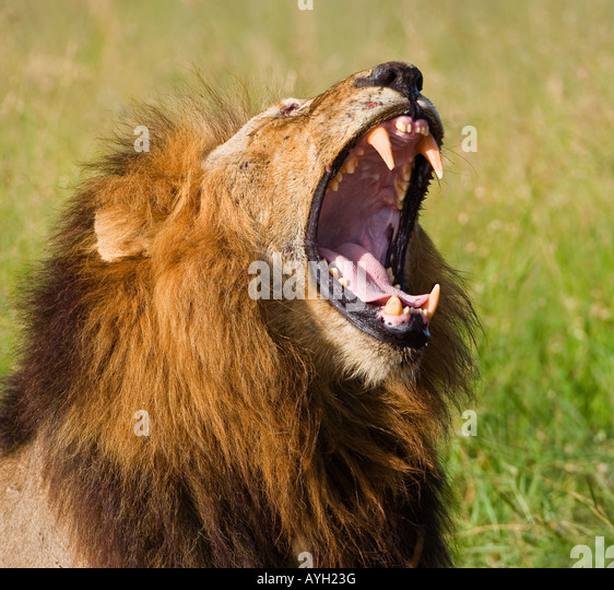Male lion yawning, Greater Kruger National Park, South Africa - Stock Image