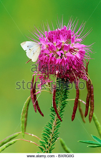 [Rocky mountain beeplant] and [cabbage white butterfly] 'Dinosaur National Monument' Colorado Utah - Stock Image