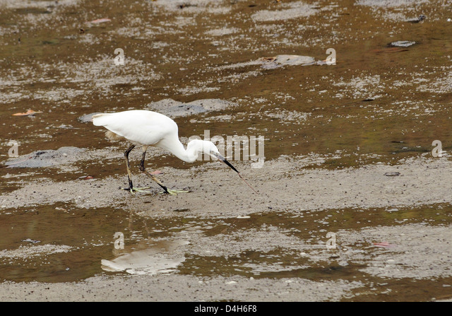 Little egret (Egretta garzetta) pulling a worm from mudflats at low tide, Hongshulin Mangrove Preserve, Taiwan - Stock Image